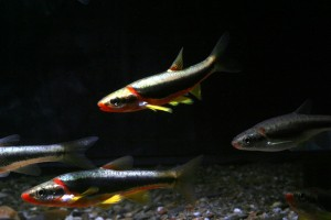 Chrosomus cumberlandensis, otherwise known as the 'Blackside Dace', was one of teh endangered species of fish negatively affected by the incident.