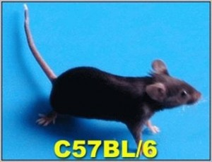 The results form teh paper were taken from experiements run on C57BL/6 Mice (image source: gdmlac.com)